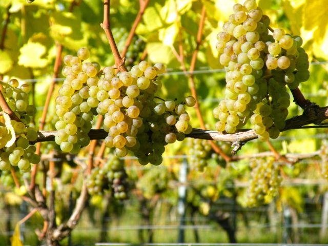 Silvaner Weinberg bei Wein von 3 in Franken