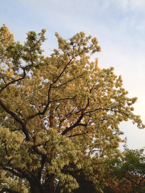 Robinienblüte im Schlossgarten von Zeilitzheim