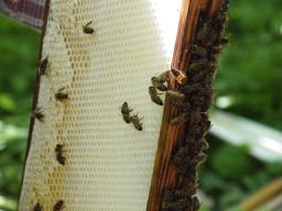 Bienen im Schlossgarten von Zeilitzheim