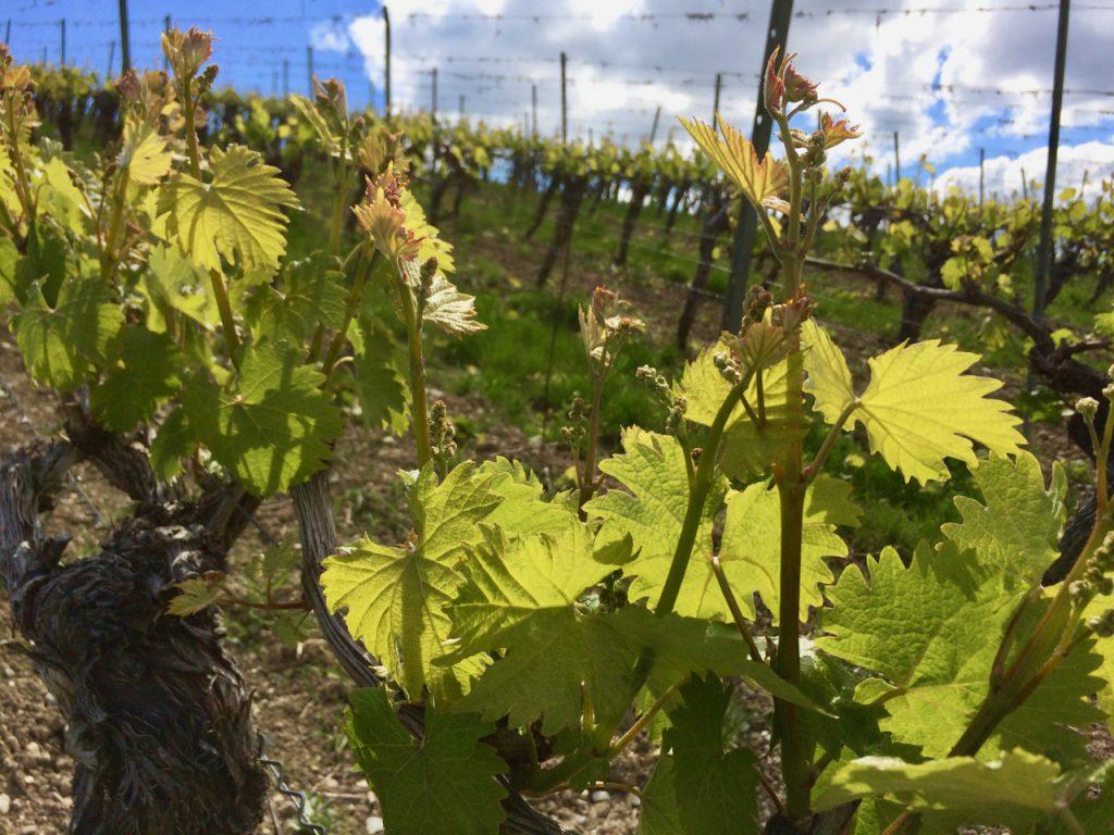 Rebaustrieb Weinberg Wein von 3 Franken